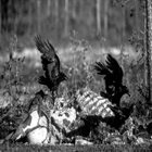 DECARABIA (WI) Anhinga Rising (Live At The Lion's Den) album cover