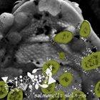 PHYLLOMEDUSA Salmonella Sickness album cover
