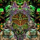PHYLLOMEDUSA Burlgonia Poachewrelic album cover