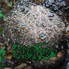 PHYLLOMEDUSA The Hippo album cover