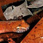 PHYLLOMEDUSA Two-Lined Dechorum album cover